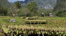 Tabak Anbau in Cuba
