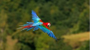 BRA, 2007: Dunkelroter Ara, Gruenfluegelara (Ara chloroptera), fliegend. [en] Green-winged Macaw (Ara chloroptera) in flight.