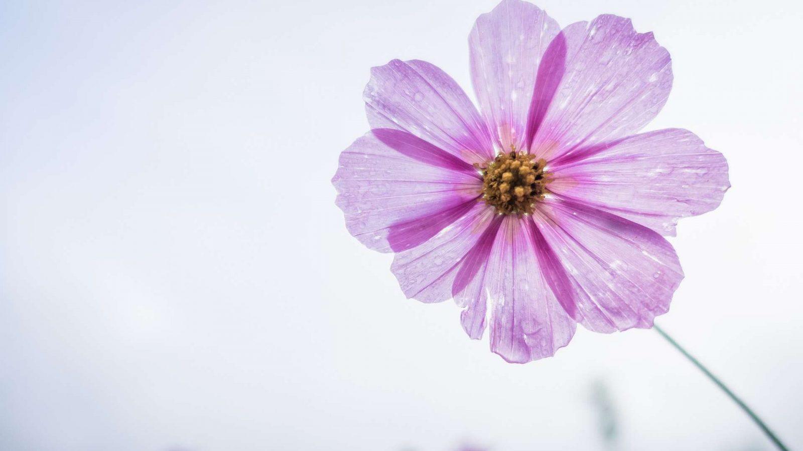 Hintergrundbild Blume