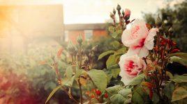 Glück durch Rosengarten Teil 7