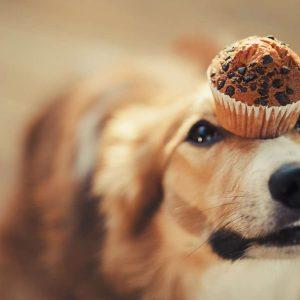 Hund mit Muffin auf der Nase widersteht Zuckerverlangen