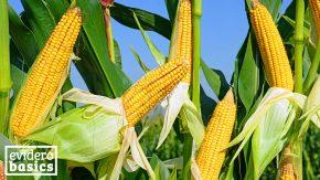 Mais ist sehr gesund