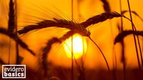 Roggen ist gesundes Getreide für Vollkornbrot