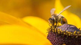 Biene beim Pollensammeln - Rettet die Bienen!