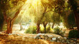 Heilkraft der Olivenbäume