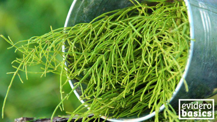 Die Heilpflanze Schachtelhalm