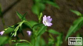 Das Kleinblütige Weidenröschen als Heilpflanze