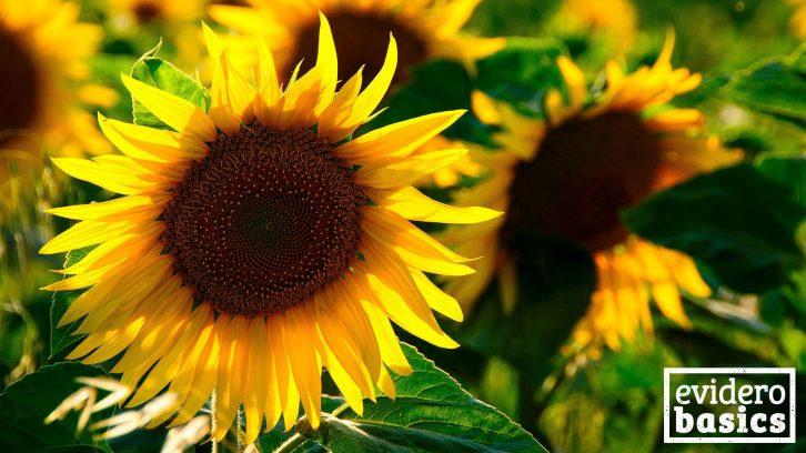 Sonnenblumenkerne und Sonnenblumenöl sind gesund