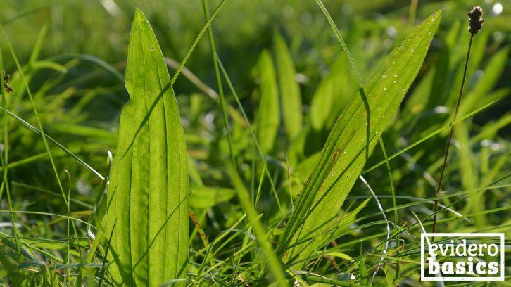 Heilpflanze Spitzwegerich