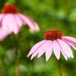 Heilpflanze Sonnenhut